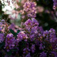 紫薇,百日红,夏季观花植物