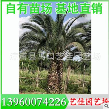 中东海枣 银海枣 高2-5米 价格500元 福建基地直销 行道树风景树