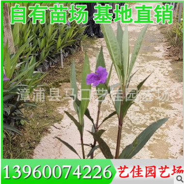 棕竹袋苗 高度30-40 冠幅20-30 价格1.8元 漳州基地直供