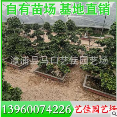 造型榕盆景 造型榕桩头 高1.5米-1.8米 价格600元 漳州基地直供