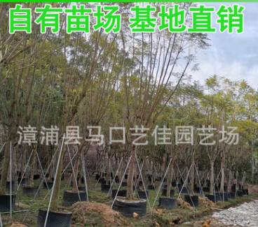 蓝花楹 胸径12-25公分 价格800元 漳州基地直销 风景树行道树