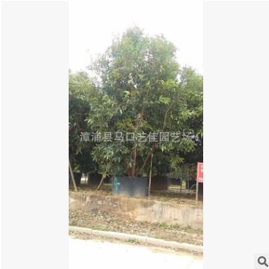水蒲桃 高200-500 价格450元-2800元 绿化园林 行道风景树水蒲桃