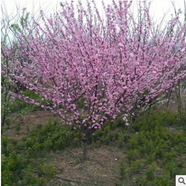 批发榆叶梅 小桃红 大花榆叶梅 园林绿化 规格齐全 园艺观花植物
