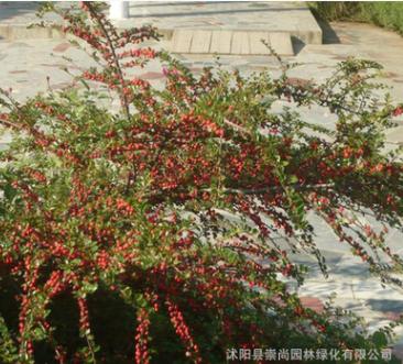 批发平枝荀子 铺地蜈蚣 园林新品 规格齐全 园林观赏 绿化工程
