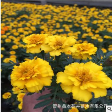 孔雀草 时令草花宿根一年生盆栽 绿植花海花卉孔雀草阳台观赏花卉