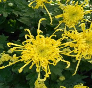 九月菊 草本花卉苗绿植九月菊耐寒四季秋菊庭院 美人荷兰菊