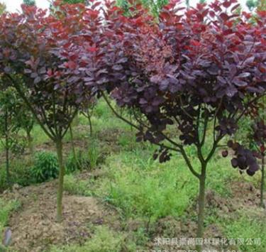 基地直销 红栌 红叶树 彩叶苗木 耐寒 耐旱 耐盐碱 园林绿化