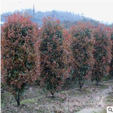 红叶石楠柱 红叶石楠柱价格 产地自销 批发红叶石楠柱