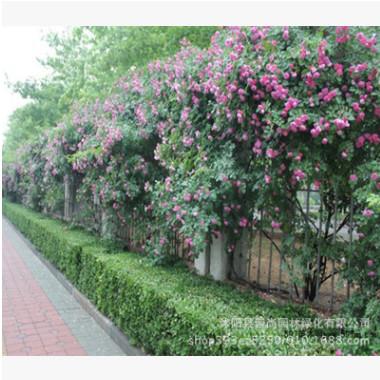 蔷薇 红花蔷薇 攀援植物 藤本月季 围墙绿化 全国包邮
