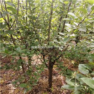 海棠4—8公分