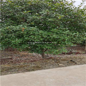 红叶石楠2米5—3米5