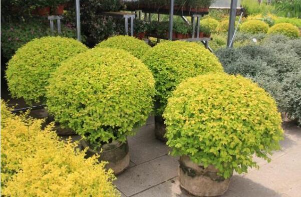 花灌木的修剪整形与更新,修剪的方法和频率应该根据应用的目的而定