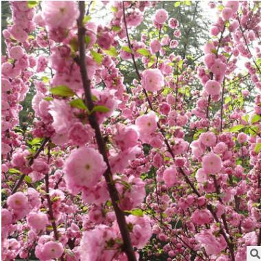 基地直销精品嫁接榆叶梅小苗 庭院绿化园林绿化工程苗榆叶梅树苗