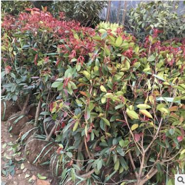 基地直销红叶石楠小苗 红叶石楠苗40-60cm园林色块绿篱绿化工程苗