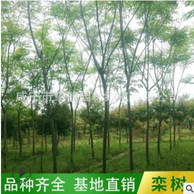 基地现货供应黄山栾树10-12-15-18公分 园林工程绿化栾树骨架批发
