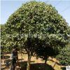 产地直销四季桂12-15-18公分各种规格桂花树批发