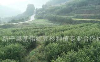 长期供应南方红豆杉 红豆杉苗木 量大优惠