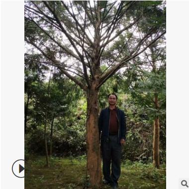 基地供应20公分红豆杉大树苗净化空气防雾霾树种精品红豆杉绿化苗