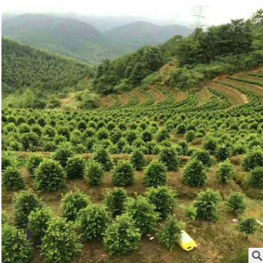 基地直销红豆杉盆景苗 盆栽造型南方红豆杉精品树 量大优惠