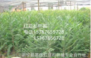 低价供应红豆杉容器苗无纺布袋苗南方红豆杉盆栽苗红豆杉营养杯苗