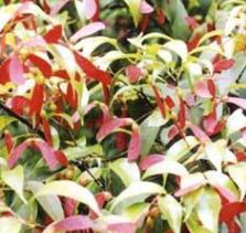 基地批发 庭院绿化苗木 红翅槭树苗 罗浮槭工程苗