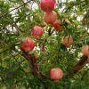枣庄石榴树质量优良石榴树苗