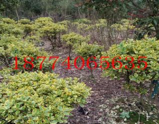 常绿灌木金边黄杨球直销冠幅30-60-80-100-120-150金边四季青价额