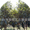 湖南长沙枇杷苗庭院种植盆栽地载植物枇杷树 2-3公分枇杷树价额