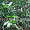 湖南法国冬青小苗绿篱珊瑚树园林绿化植物丛生型苗木树四季常青