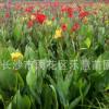 湖南园林植物红花美人蕉地栽盆栽 美化环境 净化空气 花大艳大