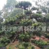 湖南基地直销绿化苗木 罗汉松小苗高度60cm 园林植物小叶罗汉松