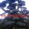 湖南长沙乐慧苗圃批发20-25-30-35造型椤木石楠树 庭院园林植物