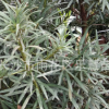 湖南基地直销绿化苗木罗汉松树苗 罗汉松价格 罗汉松小苗高100cm