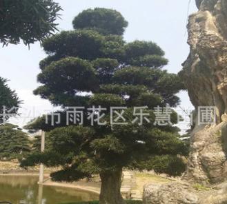 湖南长沙批发日本造型罗汉松盆景园林绿化乔木庭院植物25公分