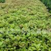 湖南苗圃批发桂花树苗 八月桂花树 高度60-150公分 绿化苗品种齐