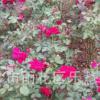 基地直销多色可选106018-28多季开花系垂直绿化切花月季月季花苗