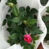 盆栽微型月季 玫瑰月季色彩丰富 多个颜色微型月季大量供应