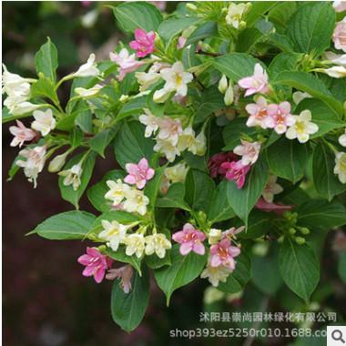 大量供应 海仙花 朝鲜锦带 园林绿化工程 园艺观花植物 自产自销