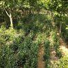 40-50-60的大叶黄杨