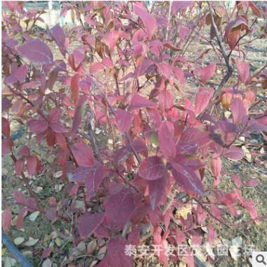 蓝莓兔眼系列 窦壳系列 南高从蓝霉苗直销基地 批发蓝霉苗