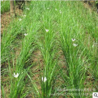 大量供应宿根花卉 葱兰 葱兰花 葱兰草 白花葱兰 园林绿化工程