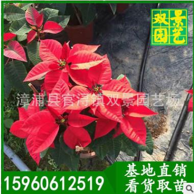 基地直销室内年花花卉圣诞红一品红美观净化空气漳州一品红批发