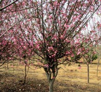 海棠树苗西府垂丝海棠北美海棠苗庭院别墅厂区公园栽植绿化树木