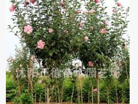 木槿花苗批发 丛生木槿 成活率高 厂区公路绿化防尘防污优良树种