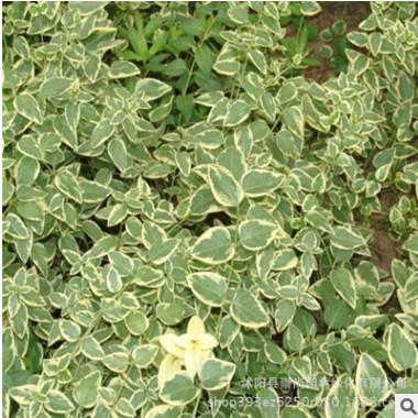 花叶蔓 花叶常春藤 矮生 匍匐生长 彩色地被苗 园林绿化 基地直销