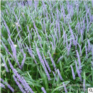 兰花三七 阔叶麦冬 四季长青 耐寒 耐荫 耐涝 观花观叶 园林绿化