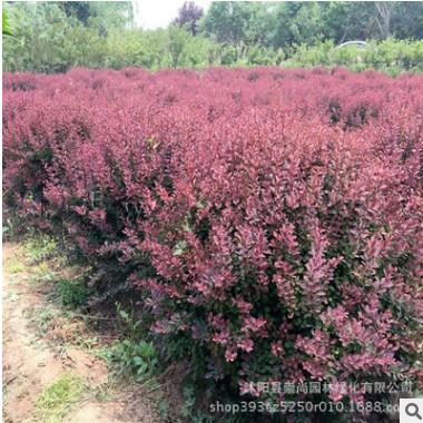 红叶小檗球 红叶小波 红叶小檗 1-3年生红叶小檗量大从优