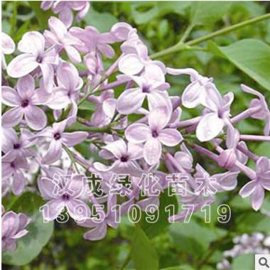 紫丁香花苗 庭院盆栽 可开花植物 丁香花树苗 浓香花卉 香飘十里