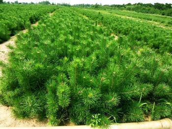 供应50厘米黑松苗60厘米黑松苗70厘米黑松苗80厘米黑松苗
