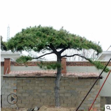 造型景观松树形优美价格优惠常年出售景观松园林防护造型景观松